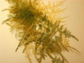 Plumosa/Asparagus Fern - Small Package (Distressed)