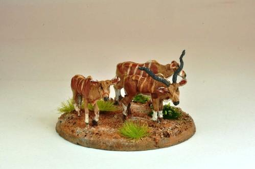 North Star Africa - African Cattle (3)